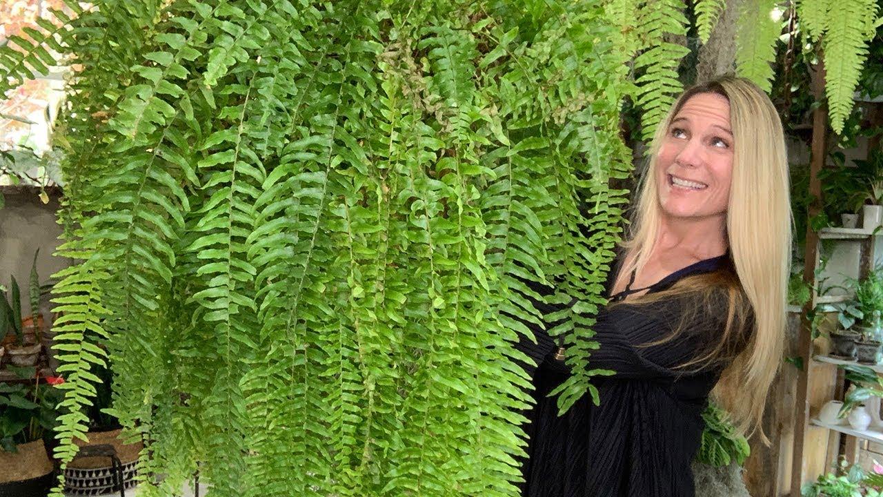 indoor-ferns-cost